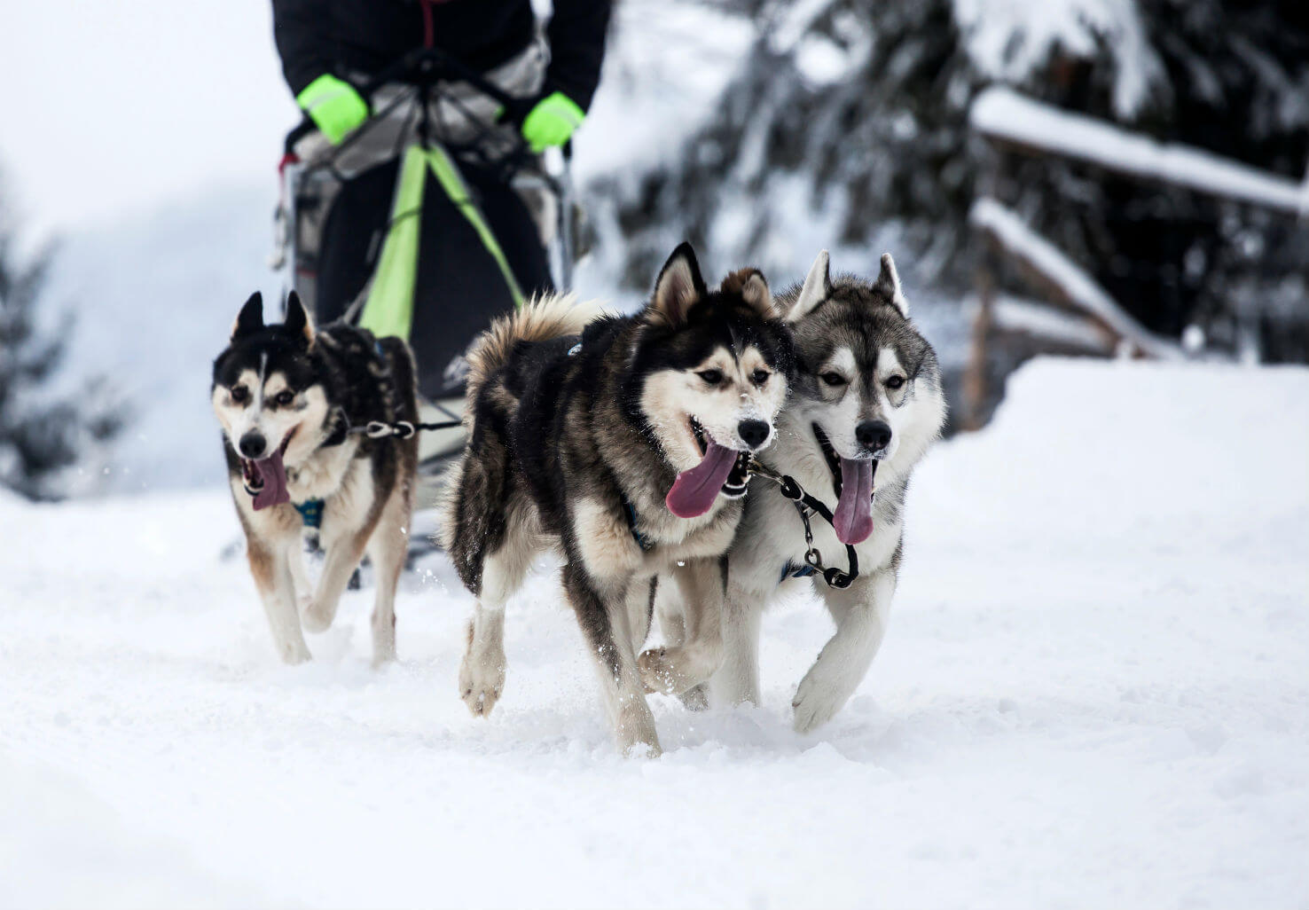 Energetic husky dogs pull dog sled