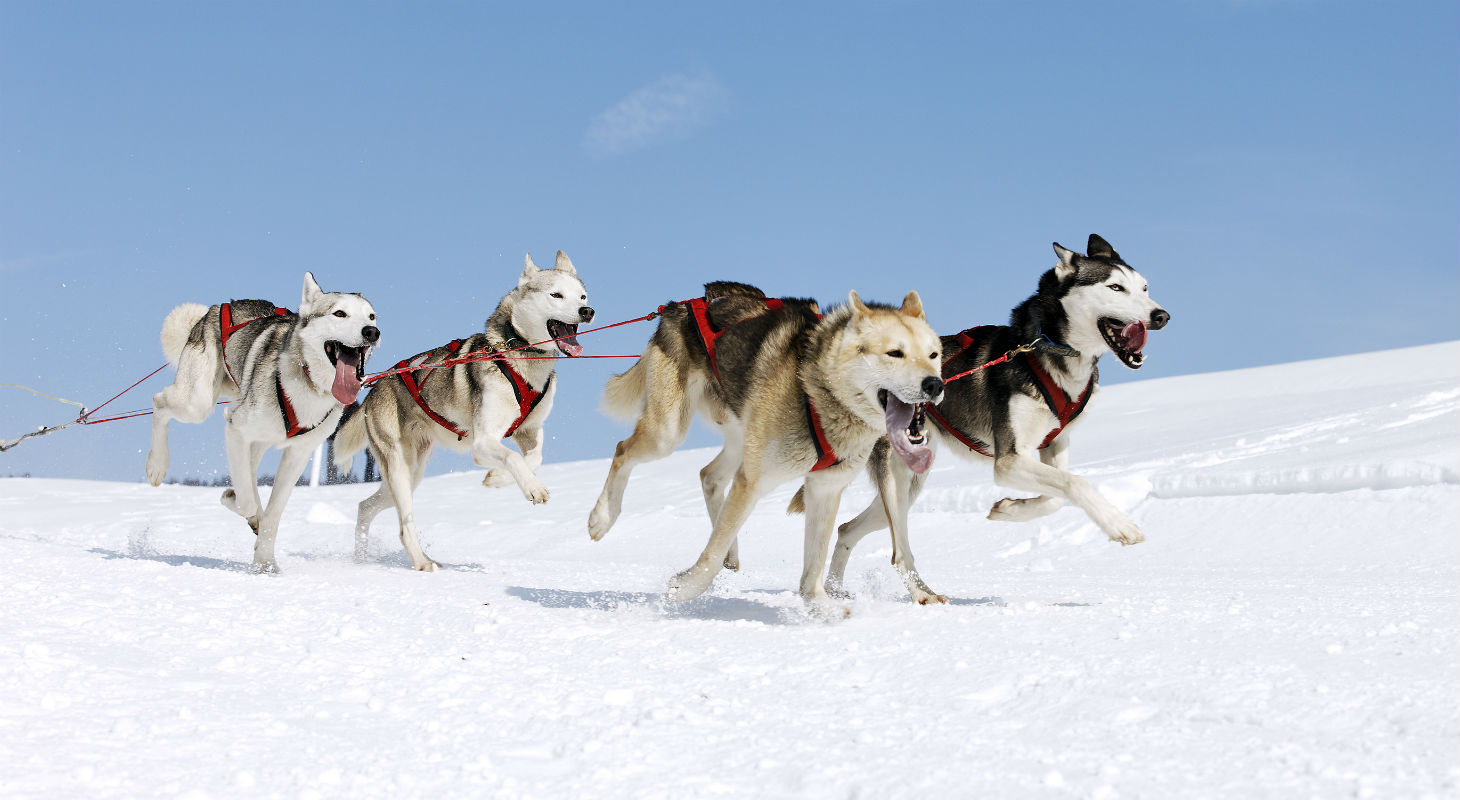 Eager huskies pulling a sled bound through the snow