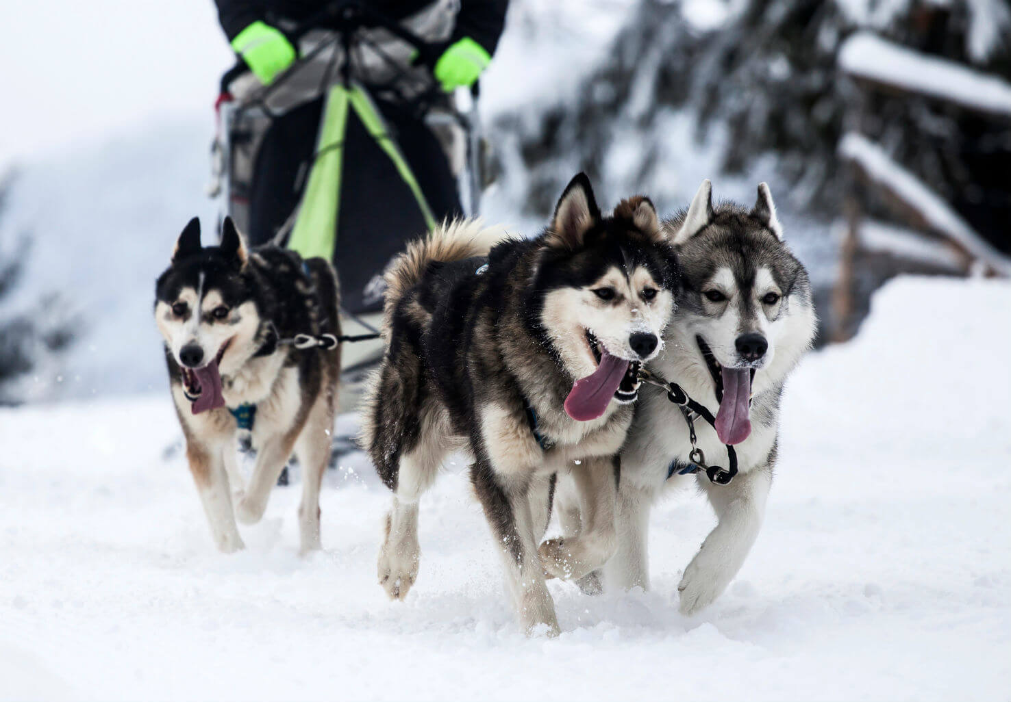Dogs happily running while pulling a sled