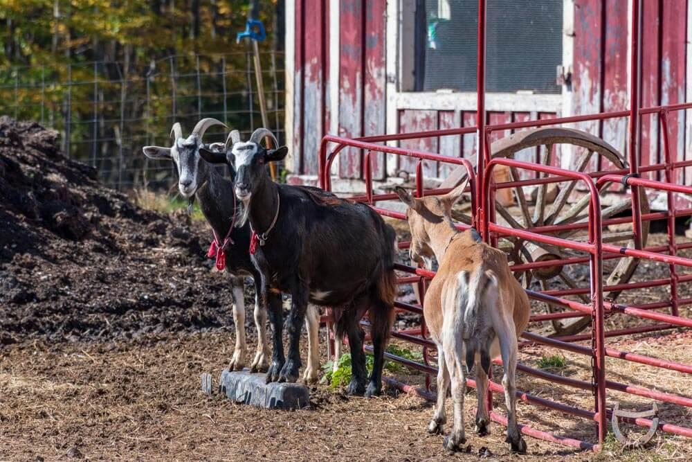 Nezinscot Farm Goats