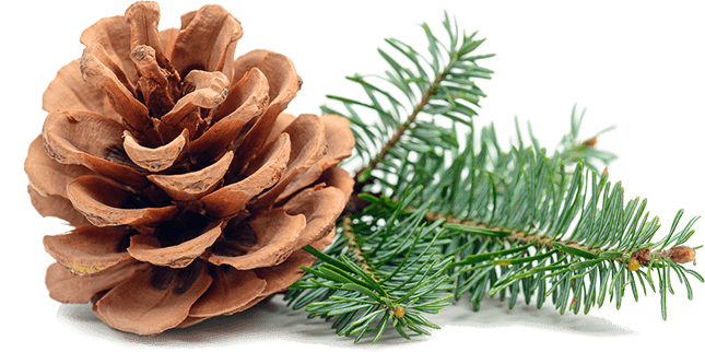 pine cone with green leaves