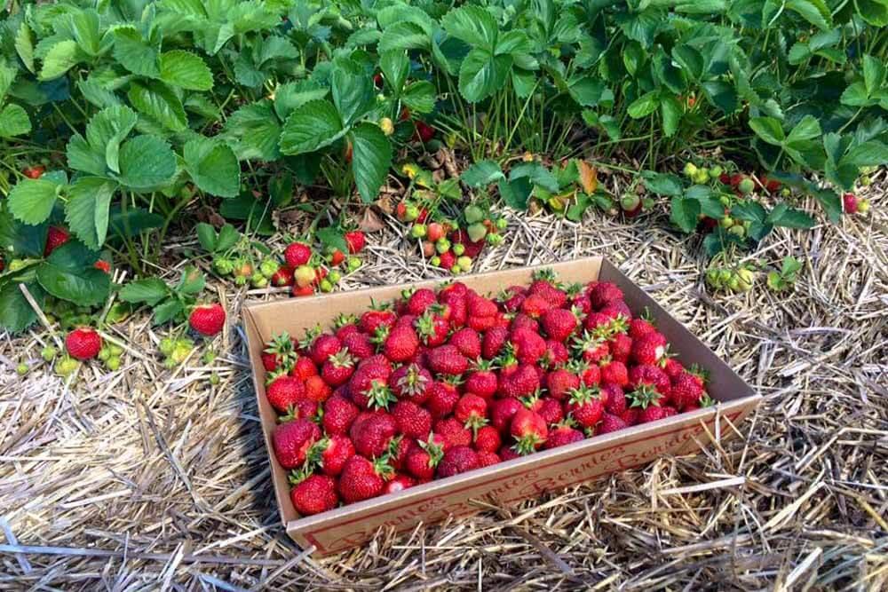 Chipmans Maine Strawberries