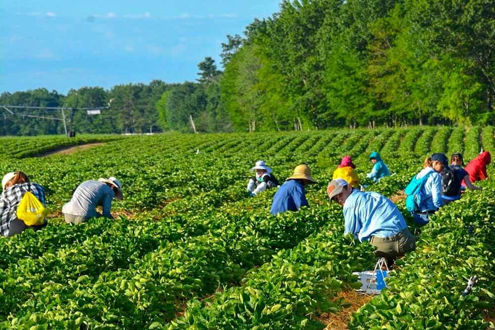 Pineland Farm Maine Strawberries