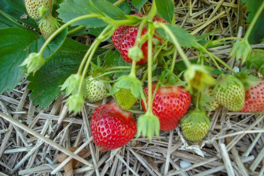 Maine Strawberries at Verrill's Farm Stand