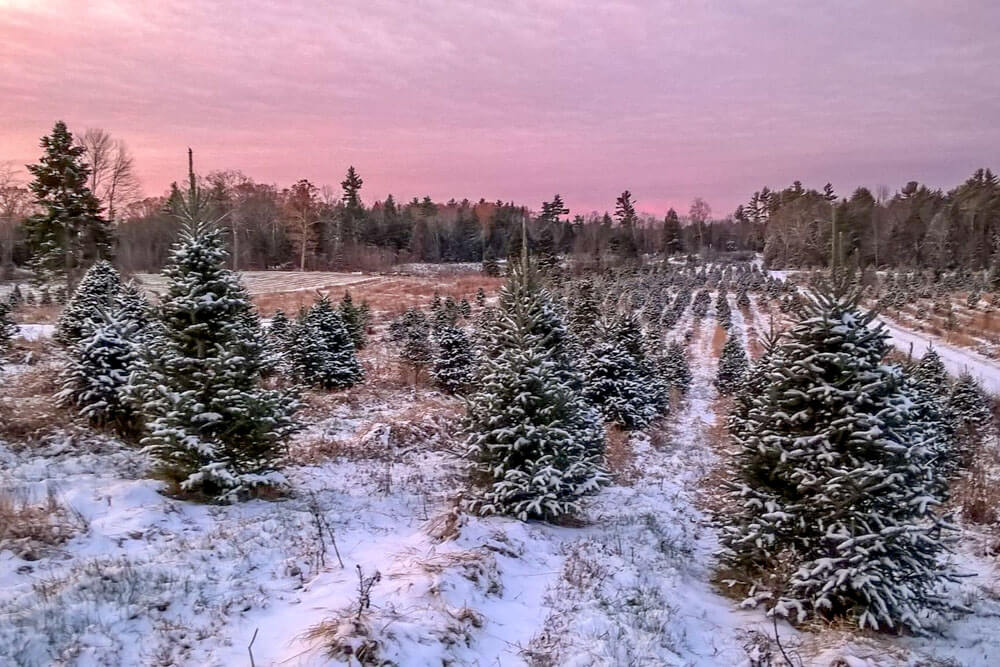Christmas tree farm in Maine