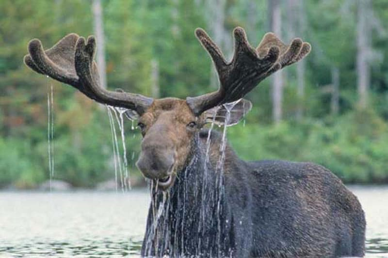 Moose with antlers dripping with water against a green forest background