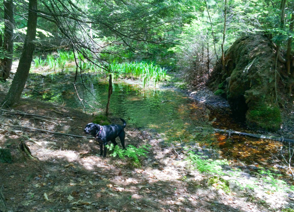 Black dog in woods near vernal pond with green plants in background