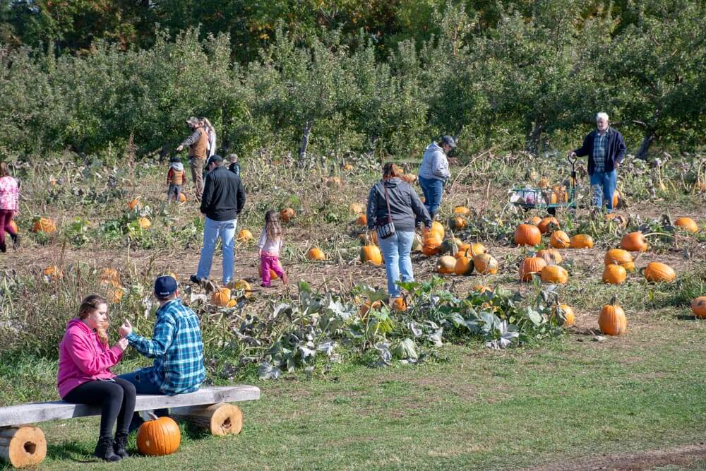 People picking pumpkins in the U-pick orchard