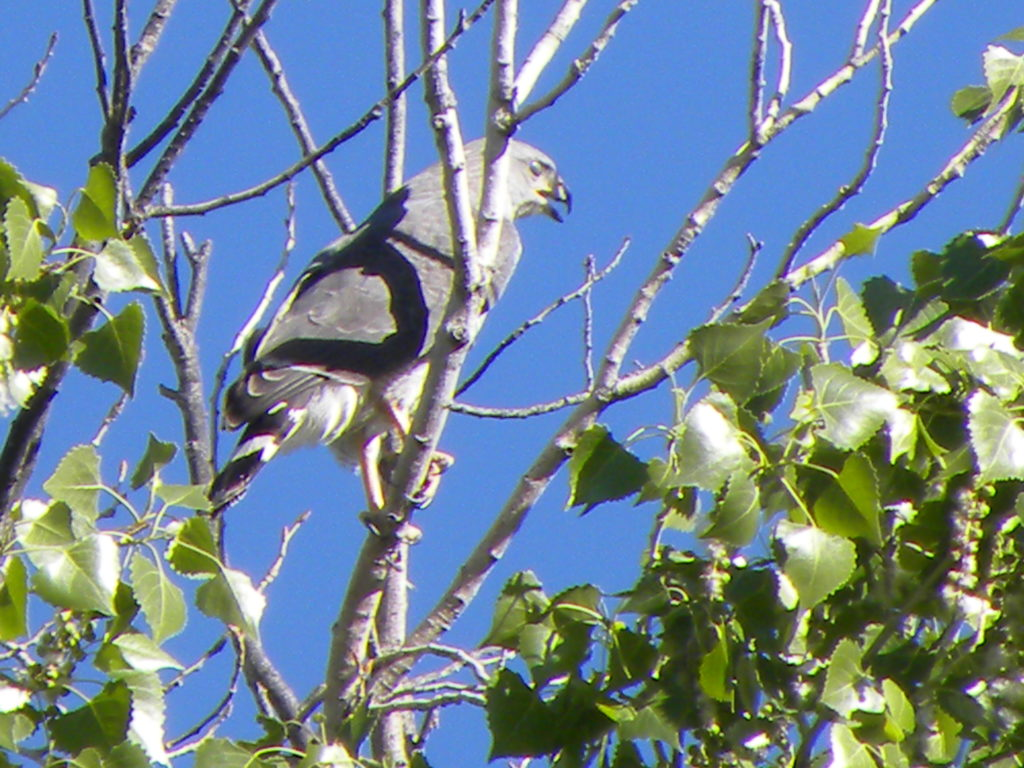 black and white bird in tree against blue sky