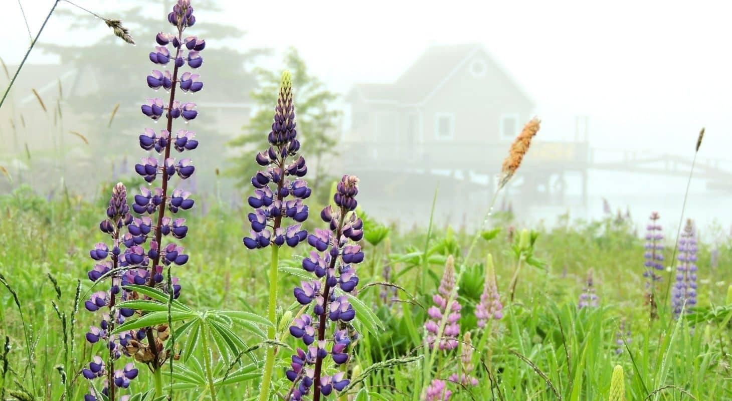 Wild purple lupins growing near Boothbay Harbor