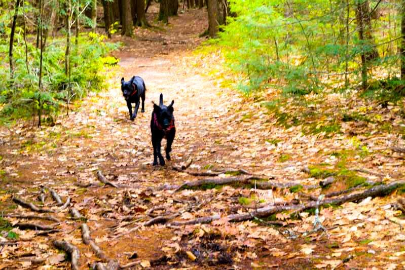 Two dogs enjoying an off road biking trail at Bradbury Mountain State Park