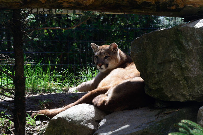 A Cougar At Maine Wildlife Park