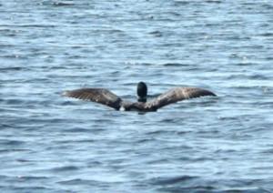 Loon in Flight Over Tripp Lake