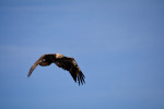 Golden Eagle at Wolf Cove Inn