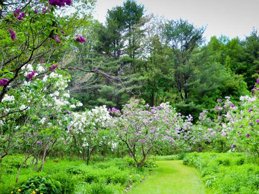 McLaughlin Gardens Lilacs In Bloom