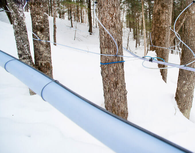 Collecting Maine Maple Sap