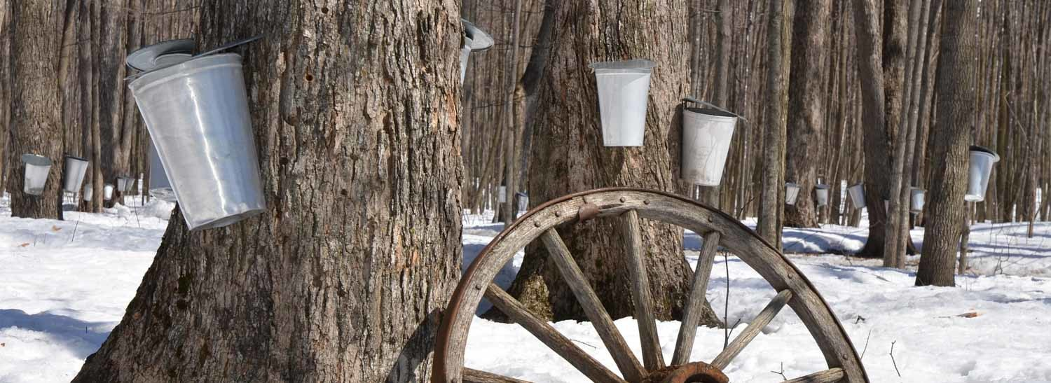Maine Maple Sunday Tapped Trees