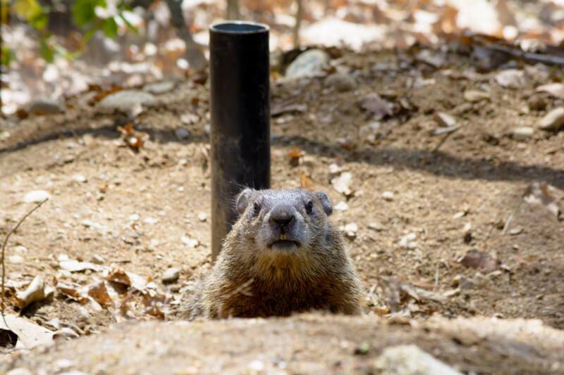 Woodchuck At Maine Wildlife Park